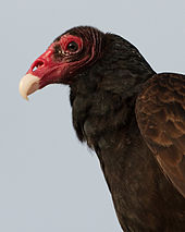 Walnut Creek, CA, Events, Lord Richard, the turkey vulture, turns 40 at the Lindsay Wildlife Museum.